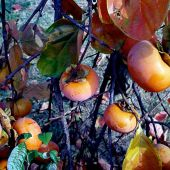 Santa Cruz, California: Persimmons  - Landscape Photography