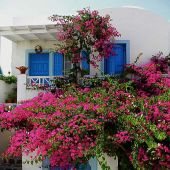Oia Santorini, Greece: Bougainvillea covered blue and white house - Landscape-Photography