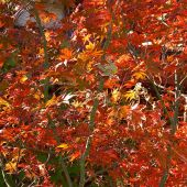 Palo Alto, California: Fall maple leaves - Landscape Photography